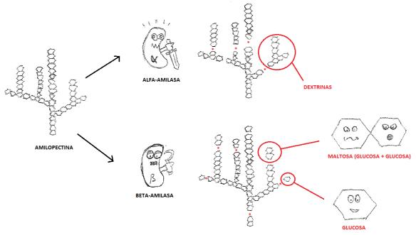 4P_01_Amilopectina a glucosa